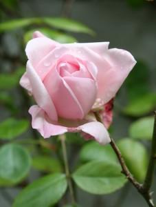 rose-cropped
